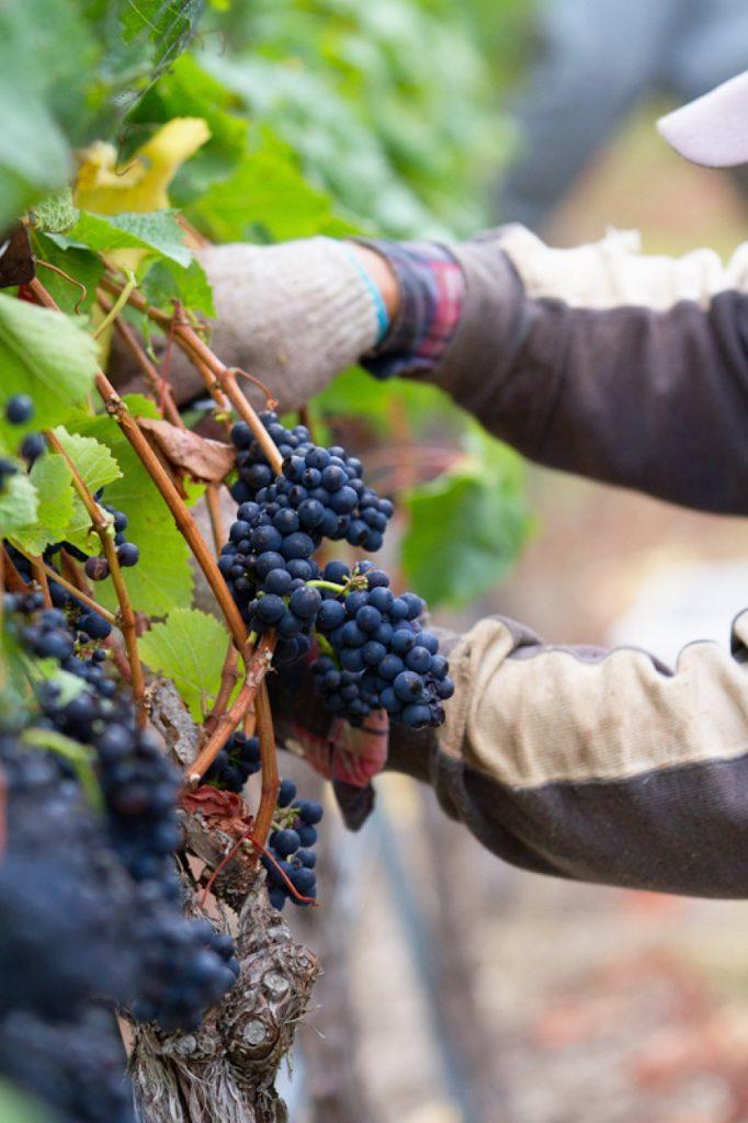 Picking Pinot