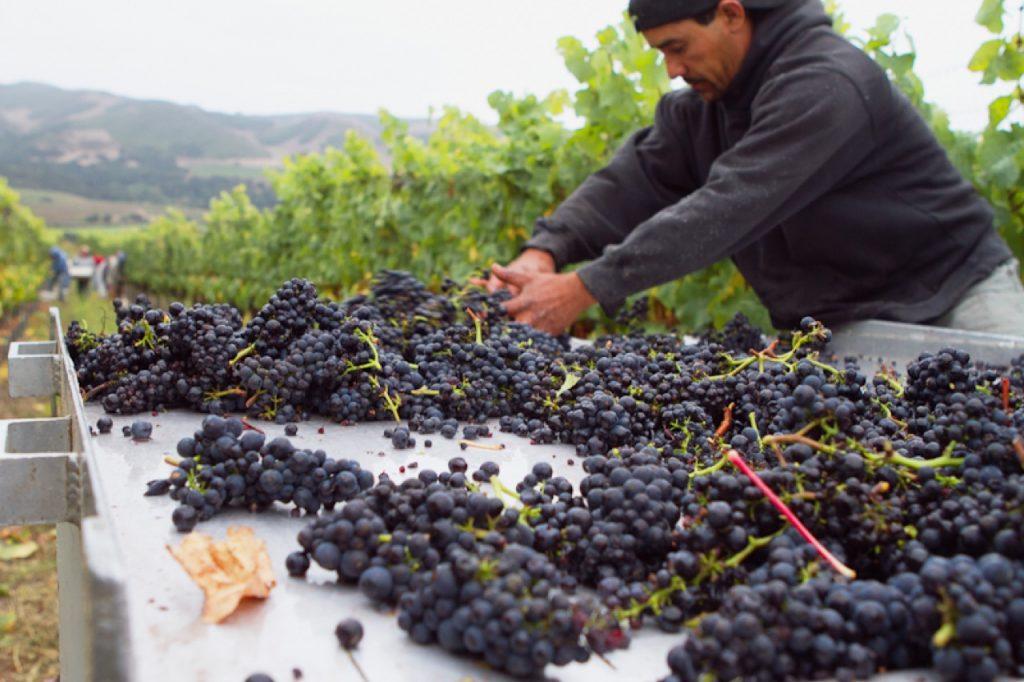 Picking Fe Ceiga Vineyard